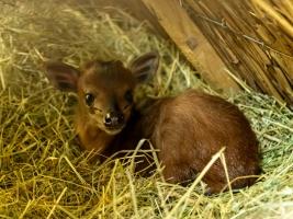 """Samice chocholatky červené Kenya porodila 11. července ve stáji Pavilonu okapi mládě. Tento týden se obě zvířata začnou vydávat ven. Zoologové na odchov této neobvyklé lesní antilopky čekali přes deset let. Mládě je prvním přírůstkem tohoto druhu v Česku a na Slovensku a jedno z jedenácti odchovaných mláďat na celém světě za poslední rok. """"Mládě bylo od prvního rána, kdy jsme ho ve stáji objevili, čilé. Hned první ráno jsme pozorovali, jak saje mateřské mléko,"""" popisuje zoolog Luděk Čulík. Kenya se podle něj projevuje od počátku jako vzorná matka. Chocholatky jsou malé antilopy, žijící skrytým způsobem života v rozptýlených i souvislejších lesích. Zejména o některých druzích ví věda poměrně málo, tajemné jsou i pro místní obyvatele Afriky. Třeba v bájích a mýtech Konga proto chocholatky vystupují jako šibalové, kteří svou chytrostí dovedou přelstít lidi i jiná zvířata. Také v zoologických zahradách jsou chocholatky červené velmi vzácně chované. V péči člověka jich žije asi čtyři desítky v celkem šestnácti institucích. Dvorský safari park chová chocholatky od roku 2009 a za celou dobu jde o první odchovek. """"Je to také první mládě v českých a slovenských zoo,"""" doplňuje Luděk Čulík. Chocholatky sdílejí v safari parku venkovní výběh s dalším unikátním obyvatelem, pralesní okapi. Protože do vnitřní stáje chocholatek není přístup, záleží pouze na Kenye a jejím mláděti, kdy se návštěvníkům ukážou. Chov chocholatek červených ve dvorském safari parku začal v roce 2009, kdy přišla první samice z hannoverské zoo. O pár měsíců později ji doplnil samec z Polska. Pár žil několik let společně, ovšem potomky nikdy neodchoval. Proto v roce 2014 dorazil z Kolína nad Rýnem Pluto. Ani nově sestavený pár však kýžené mládě nikdy neměl. Změna nastala až s příchodem současné samice Kenyi z Valencie v roce 2019. Během relativně krátké doby se pár harmonizoval a chovatelé začali doufat v první malé chocholatky. I tentokrát však přišla nešťastná událost: Pluto v březnu 2020 uhynul. K veliké r"""