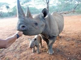 Nosorožci ze ZOO Dvůr Králové mají v Tanzanii už třetí mládě