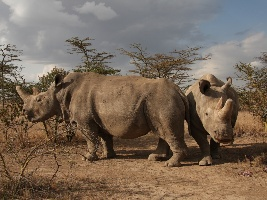 prulom-v-zachrane-nosorozcu-bilych-severnich-v-laboratori-se-podarilo-vyvinout-prvni-hybridni-embryo-nosorozce