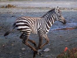 safari-park-dvur-kralove-a-zoo-liberec-budou-spolecne-zachranovat-zebry-bezhrive