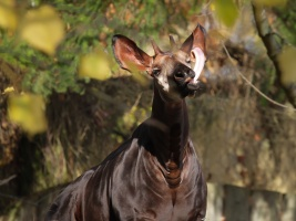 Safari park oslaví Světový den okapi. Přispěje na jejich záchranu v Africe a své příznivce pozve do zavřeného areálu virtuálně . Foto (c) Simona Jiřičková