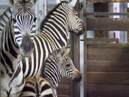safari-park-oslavuje-den-zeber-mladetem-upevnuje-tak-pozici-nejvyznamnejsiho-chovatele-techto-zvirat