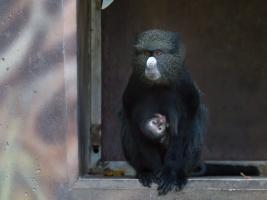 Safari park oslavuje mládě kočkodana, kterého nemnoží žádná jiná zoo na světě. Foto (c) Simona Jiřičková