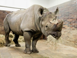 safari-park-po-vic-nez-deseti-letech-dovezl-chovneho-samce-nosorozce-cerneho