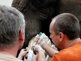 Slonice Saly podstoupila ošetření klů