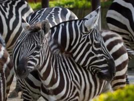 Máldě zebry bezhřívé. Foto (c) Simona Jiřičková