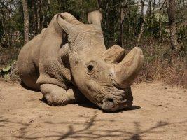 sudan-posledni-samec-nosorozce-bileho-severniho-je-po-smrti