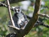 Dvojčata lemurů a dvě mláďata drilů – to jsou letní novinky u primátů v Safari Parku Dvůr Králové. Foto (c) Simona Jiřičková