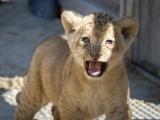 Nová koťata lvů berberských. Foto (c) Simona Jiřičková