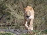 lvice-khalila-a-tessy-budou-letosni-novinkou-lviho-safari-1