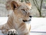 lvice-khalila-a-tessy-budou-letosni-novinkou-lviho-safari-3