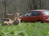 lvice-khalila-a-tessy-budou-letosni-novinkou-lviho-safari-4