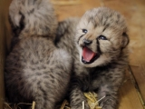 Mláďata gepardů (c) Simona Jiřičková
