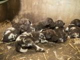 Mláďata psů hyenových. (c) Lukáš Pavlačík