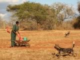 Mláďata psů hyenových. (c) Jan Stejskal