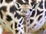 Dvě mláďata žiraf Rothschildových se narodila během jediného dne