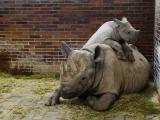Mládě nosorožce dvourohého s matkou. (c) Jan Žďárek