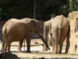 Sloni afričtí