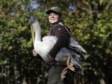Ošetřovatelé odchytili holýma rukama 25 pelikánů. Foto (c) Simona Jiřičková