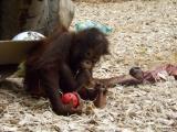 Oslava třetích narozenin orangutaní samičky
