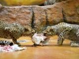 Paterčata gepardů jsou jarním hitem královédvorské ZOO (c) Jana Myslivečková
