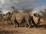 prulom-v-zachrane-nosorozcu-bilych-severnich-v-laboratori-se-podarilo-vyvinout-prvni-hybridni-embryo-nosorozce-1