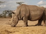 prulom-v-zachrane-nosorozcu-bilych-severnich-v-laboratori-se-podarilo-vyvinout-prvni-hybridni-embryo-nosorozce-2