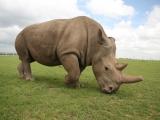 prulom-v-zachrane-nosorozcu-bilych-severnich-v-laboratori-se-podarilo-vyvinout-prvni-hybridni-embryo-nosorozce-3