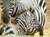 Zebra bezhřívá. Foto (c) Simona Jiřičková