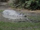 Hrošík liberijský
