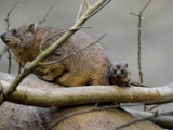 V Safari Parku Dvůr Králové se narodilo mládě nejbližším příbuzným slonů. Foto (c) Kateřina Bílková