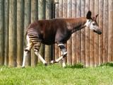 Okapi pralesní, ZOO Dvůr Králové nad Labem