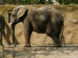 Slon africký, ZOO Dvůr Králové nad Labem