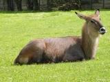 Voduška jelenovitá, ZOO Dvůr Králové nad Labem